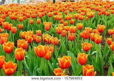 Flower Tulips Background.