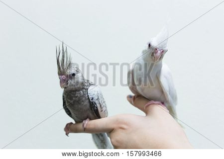 Baby gray and white cockatiel birds on finger female copy space with cement wall background.