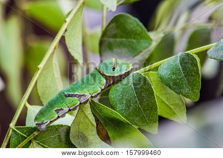 Common Mormon Caterpillar on Curry Leaf Plant.