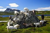 Goats and hiker in Jotunheimen national park, Norway poster
