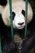 Panda I breeding center in Chongqing, Sichuan, China poster