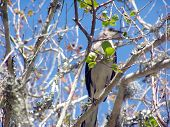 Mocking Bird enjoying a sunny day while perched in a Tree. poster