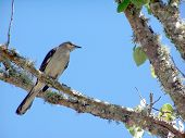 Mocking bird perched on a tree limb with pretty blue sky in background. poster