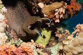 Moray eel being cleaned by fish at a cleaning station, Red Sea poster