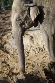 Large African elephant standing in the mud poster