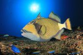 Titan Triggerfish fish on reef poster