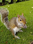 squirrel on grass eating poster