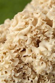 edible yellow mushroom (Sparassis crispa) as background