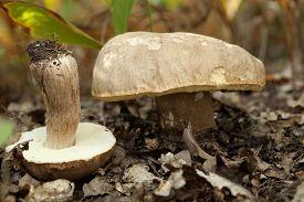 edible mushrooms (Boletus reticulatus Schaeff) in forest
