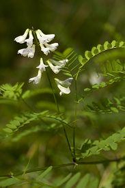 vetch inflorescence (Vicia sylvatica) on blurred background