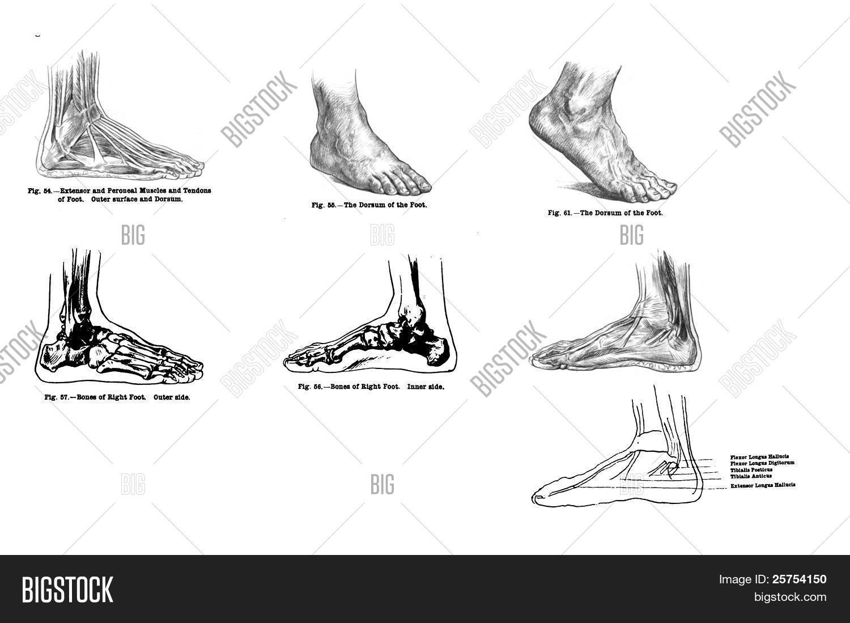 7 Views Human Foot, Muscles Bones Image & Photo | Bigstock
