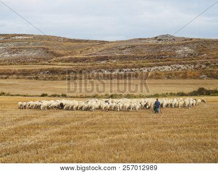 Shepard With His Flock - Rabe De Las Calzadas, Castile And Leon, Spain, 14 September 2014