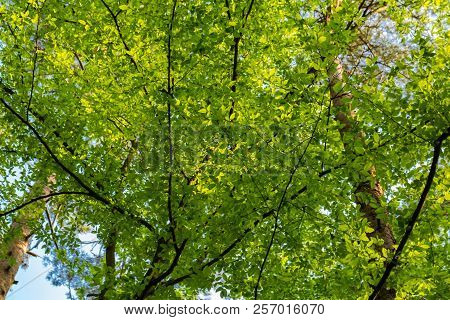New Green Leaves On Tree Branches At Spring