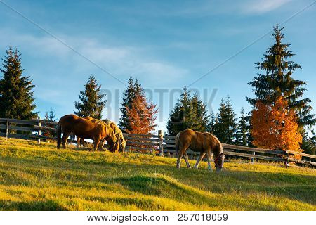 Three Horses Grazing On A Hill. Wonderful Rural Scene In Evening. Forest Behind The Fence In The Dis