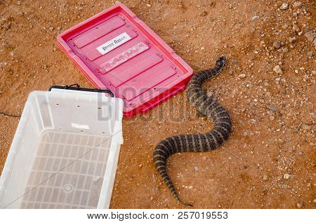 Venomous Death Adder Snake - Western Australia poster