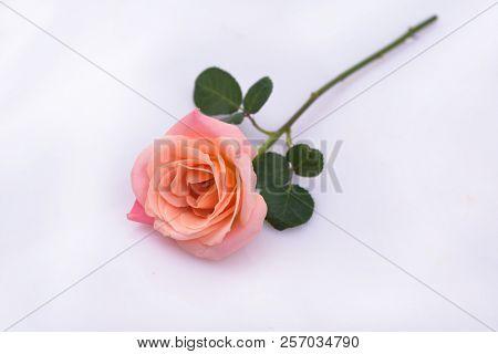 Lying on pink rose