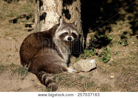 Full View Of Sunbathing Relaxing Sitting Lotor Common Raccoon (procyon Lotor). Photography Of Nature