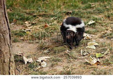 Full View Of Mephitidae Is A Family Of Mammals Comprising The Skunks And Stink Badgers. Photography