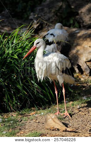 Full View Of White Stork Is A Large Wading Bird In The Stork Family Ciconiidae. Photography Of Natur
