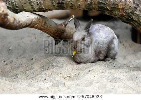 Full Body Of Beige-grey Domestic Pygmy Rabbit (bunny) Eating A Tree Leaf, Photography Of Nature And