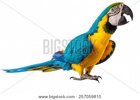 Macaw Parrot Bird Isolated On White Background