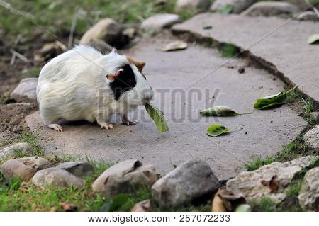 Full Body Of Black-white-brown Domestic Guinea Pig (cavia Porcellus) Cavy Eating A Tree Leaf. Photog
