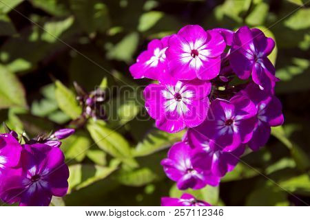Beautiful Faded Violet Cultivated Phloxes On Summer Sun