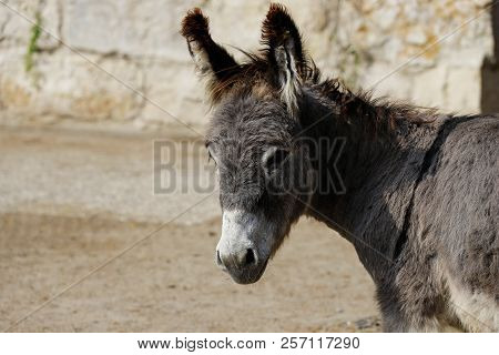 Profile View Of Domestic Grey Donkey On The Farm. Photography Of Nature And Wildlife.