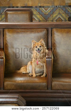a cute dog smiles while on a leather chair. Cute small dog relaxes on a brown leather chair and smiles.