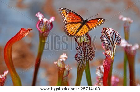 Butterfly on Pitcher Plant