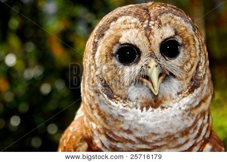 Pretty Bard Owl with Huge Eyes poster