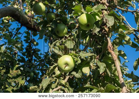 Apple Tree With Fruits Of Apples. Green Apple In An Apple Orchard.