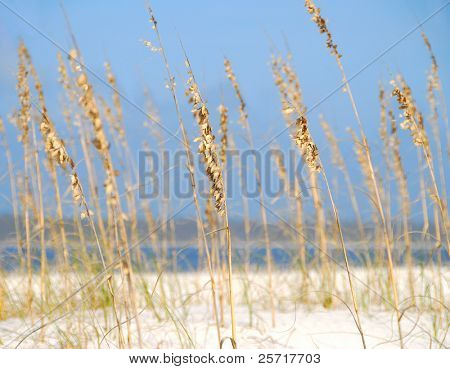 Pretty sea oats on beach with ocean in distance