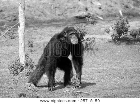 Adult chimpanzee in stance at nature preserve poster