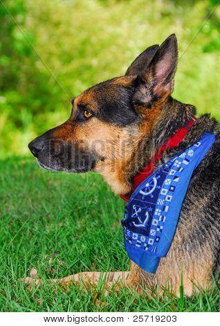 Alert German Shepherd dog on grass poster