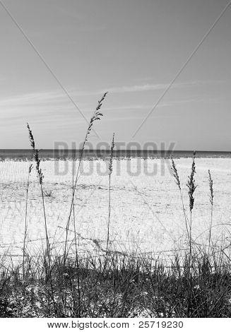 Tall seaoats at pretty beach dune