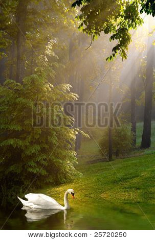 Swan in lake with early morning sunshine streaming through trees on foggy morning poster