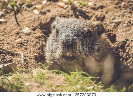 Young Groundhog (marmota Monax) Emerges From Hidey Hole