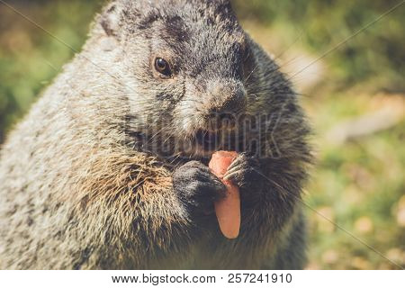 Young Groundhog (marmota Monax) Closeup In Vintage Setting Holding A Carrot With Mouth Open