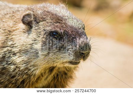 Young Groundhog (marmota Monax) Side Profile Closeup In Vintage Setting