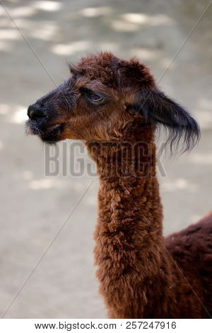 Head And Neck View Of Domesticated Alpaca (vicugna Pacos) Species Of South American Camelid. Photogr