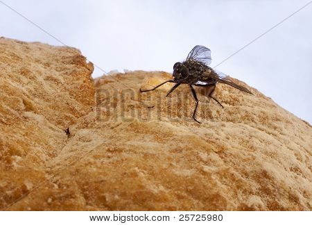 Housefly on food