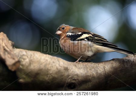 Close-up Of Male Common Chaffinch (fringilla Coelebs) On The Tree Branch. Photography Of Nature And