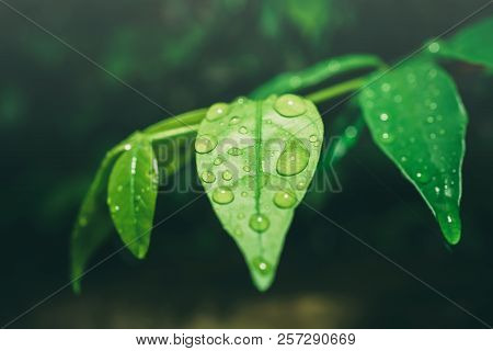Water Drops On Green Leaf After Rain., Drops On Leaf In Raining Day. The Design Concept For A Green