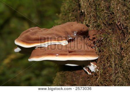 Brown Polypore Mushroom