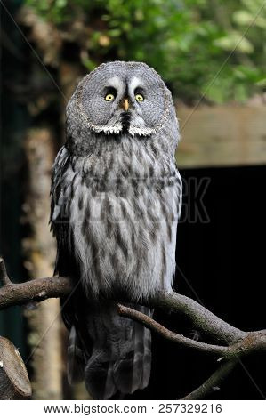 Full Body Of Adult Great Grey Owl (strix Nebulosa) On The Tree Branch. Photography Of Nature And Wil