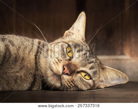 Close Up Asia Striped Gray Cat Just Wake Up After Daytime Sleeping And It Was Staring Of Yellow Eyes
