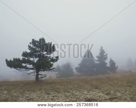 Mountain Trees In Fog. One Pine Tree In Fogy. Copy Space For Text.