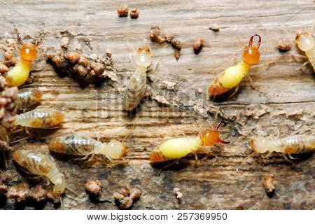 Closeup Worker And Soldier Termites (globitermes Sulphureus) On Wood Structure Background (taken Fro