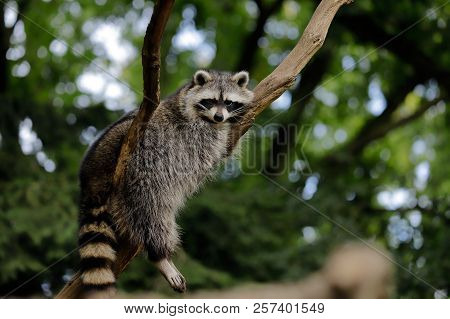 Full Body Of Relaxing Common Lotor Procyon Raccoon On The Tree Branch. Photography Of Nature And Wil